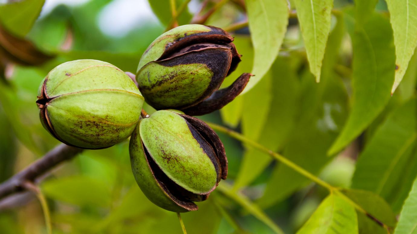 Organic Pecan Nuts